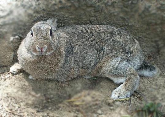 侏儒與野兔混種