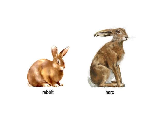 家兔vs野兔