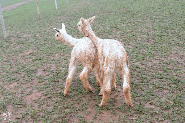新天馬牧場草泥馬