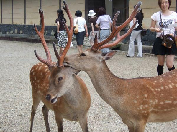 日本奈良 鹿群逛大街